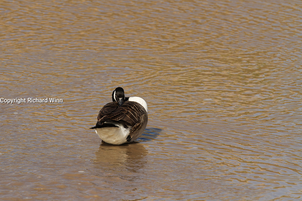 Canada goose preening at low tide on the River Parrett Estuary near Chilton Trinity, just outside Bridgwater.