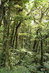 Monteverde, Guanacaste: Almost overwhelming growth and greenery surround visitors to the Monteverde Cloud Forest Preserve.  Straddling Costa Rica's continental divide 110 miles west of San Jose, the Monteverde Cloud Forest Preserve is a virgin forest jungle brimming with incredible numbers of birds, butterflies, and mammals as well as more than 2,500 plant species. No more than 100 visitors are allowed within the grounds at any one time to preserve this unique and fragile ecology. A web of trails allows exploration on your own or with a highly trained guide (latter is recommended).