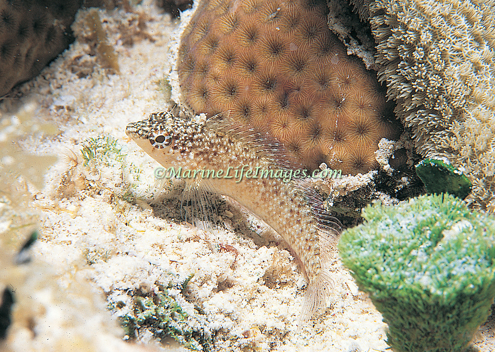Rosy Blenny inhabit reef tops and adjacent areas of sand and rubble in Tropical West Atlantic; picture taken Bimini, Bahamas