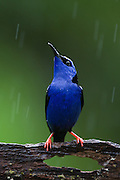 Red-legged Honeycreeper <br /> Cyanerpes cyaneus<br /> Male<br /> Northern Costa Rica, Central America