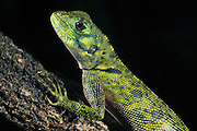 Tropidurus Lizard (Plica Sp)<br /> Rain Forest<br /> Iwokrama Reserve<br /> GUYANA<br /> South America<br /> RANGE: Central America & Northern South America
