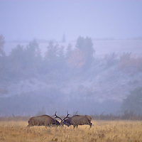 two bull elk fighting