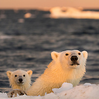 Canada, Nunavut Territory, Repulse Bay, Polar Bear and young cub (Ursus maritimus) swimming by iceberg near Harbour Islands at sunset