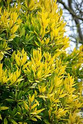 Laurus nobilis 'Aurea' AGM. Yellow-leaved bay tree