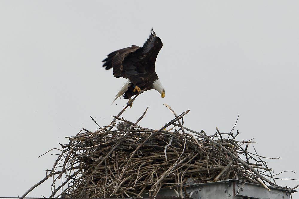 Bringing large branch in for nest construction. Bald Eagle Nest week1 Montezuma NY Bald Eagle nest week1 Montezuma NY