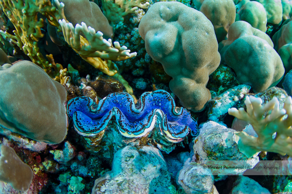 Giant clam-Bénitier géant (Tridacna gigas) of Red Sea.