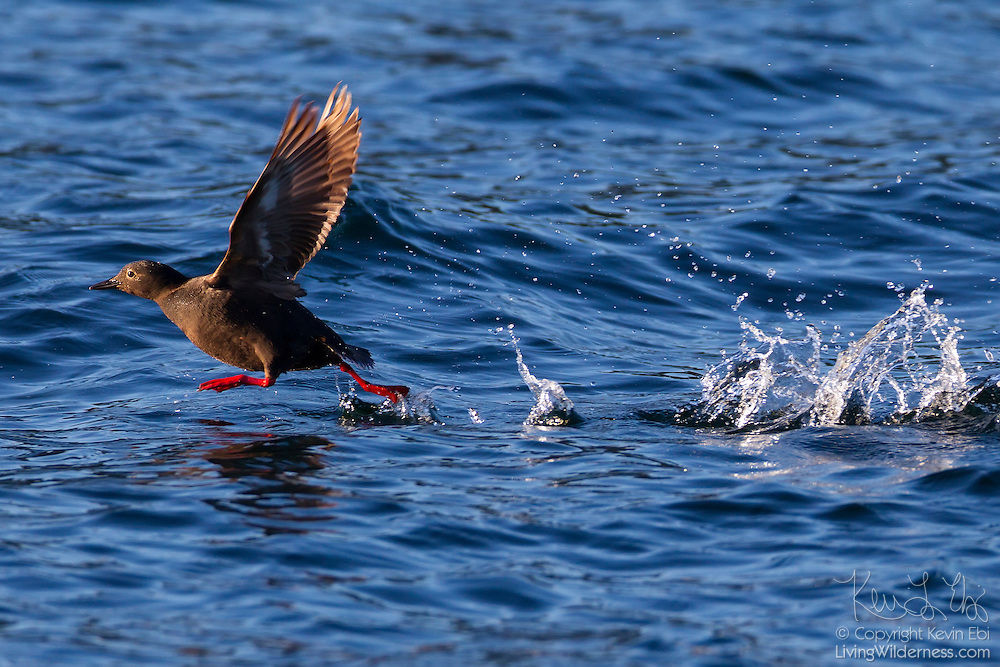 A pigeon guillemot (Cepphus columba) runs across Discovery Bay to take flight near the Protection Island National Wildlife Refuge in Jefferson County, Washington. This pigeon guillemot is displaying its breeding plumage; nonbreeding adults have mostly white heads.