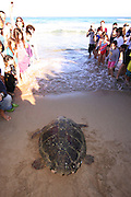A crowd of people watch as a female loggerhead sea turtle (Caretta caretta), makes her way back to the Mediterranean sea after laying her eggs on the beach. This nesting sites are then sealed off to protect the eggs. Photographed in Israel in May