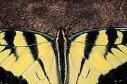 Eastern tiger swallowtail butterfly, Baxter County, Arkansas