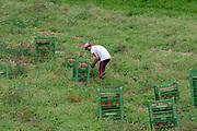 Farmer works in a field picking pumpkins. Photographed in Neustift, Tyrol, Austria