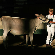 A young 4-Her nervously pulls along his prize cow as judging began early in the morning on August 7th, the first day of the Iowa State Fair in Des Moines, Iowa.