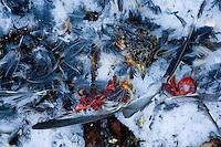 Bramblings (Fringilla montifringilla) fenyőpinty<br /> L&ouml;dersdorf, Austria 25.02.2009