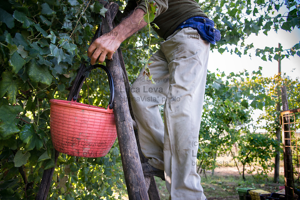 contadino durante la vendemmia a Casal di Principe (CE);<br />