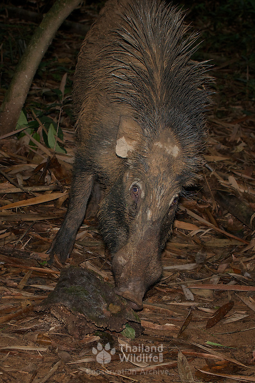 Wild boar or wild pig (Sus scrofa) is a species of the pig genus Sus, part of the biological family Suidae. Kaeng Krachan National Park, Thailand.