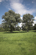 Willow trees and meadow in summer, Suffolk landscape scenery, East Anglia, England