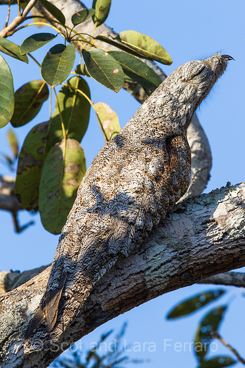 The potoo is well camouflaged as he sleeps posed on the branch.  Potoos are nocturnal birds that spend their days resting statuesquely.