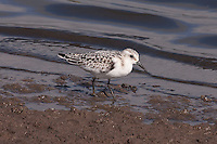 Sanderling photo Hawaii
