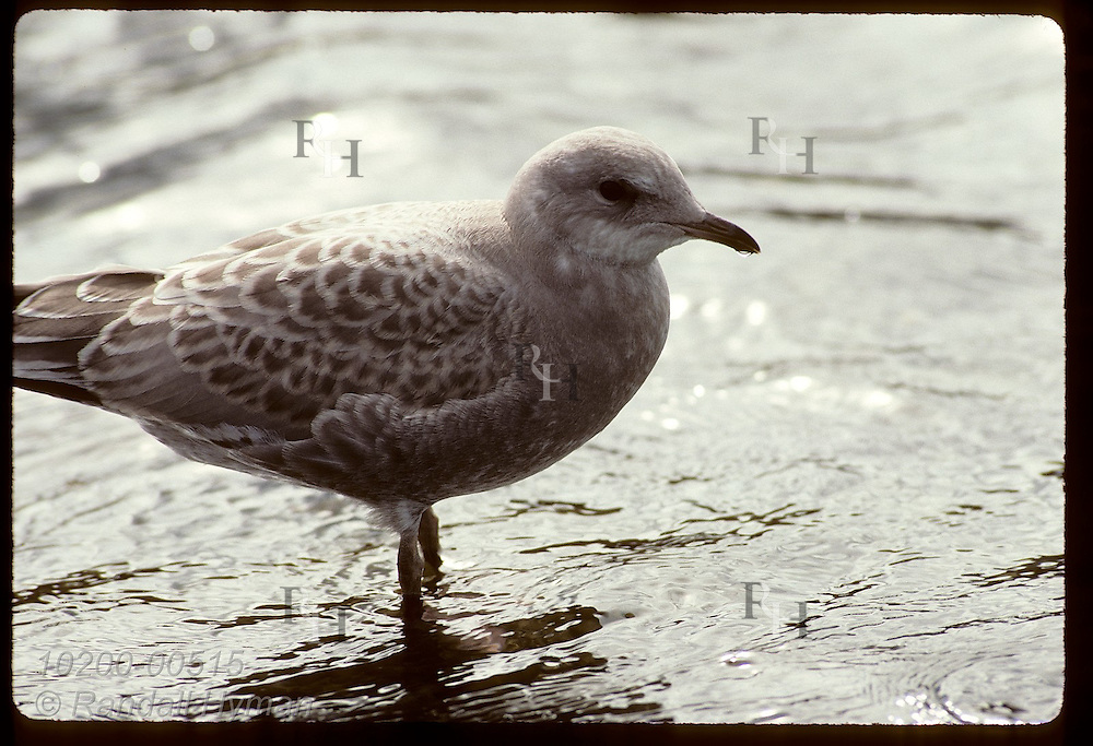Immature mew gull (Larus canus) stands in silvery waters near shore at Wonder Lake in August; Denali Natliona Park, Alaska