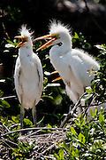 Great Egret, Louisiana, North America