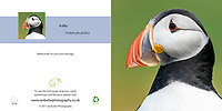 Portrait of Atlantic Puffin Fratercula arctica Square Greeting Card with Peel and Seal White Envelope