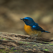 Hill blue flycatcher (Cyornis banyumas) in Kaeng Krachan Nationlal Park, Thailand.