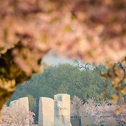 Cherry blossom flowers at top frame the new MLK Memorial in the distance, Washington DC's newest monument. It is dedicated to Dr. Martin Luther King Jr. The Yoshino Cherry Blossom trees lining the Tidal Basin in Washington DC bloom each early spring. Some of the original trees from the original planting 100 years ago (in 2012) are still alive and flowering. Because of heatwave conditions extending across much of the North American continent and an unusually warm winter in the Washington DC region, the 2012 peak bloom came earlier than usual.