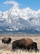 NEWS&GUIDE PHOTO / PRICE CHAMBERS.Bison graze along the sage flats north of Kelly recently, perhaps thankful just to be alive.