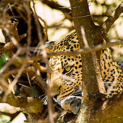 A leopard (Panthera pardus) relaxes in the safety of an Acacia tree in the short grass plains of Serengeti National Park, Tanzania.