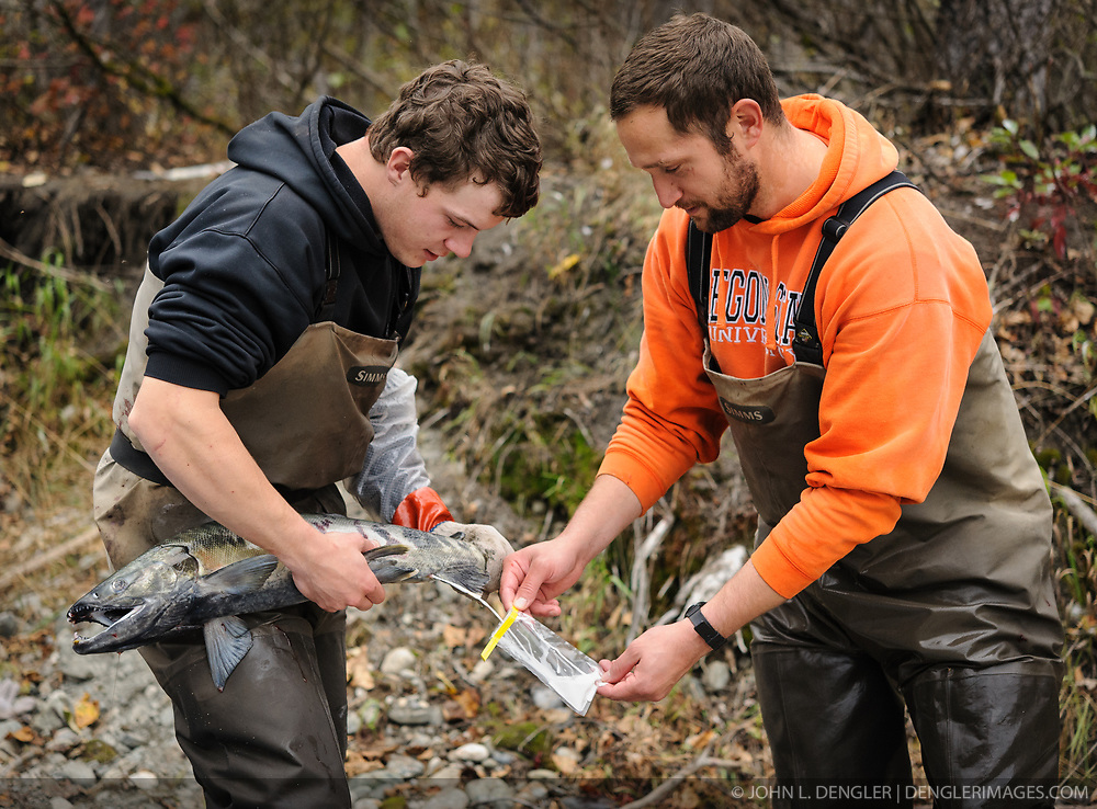 Dylan Burbank (left) and David Campbell, fish technicians for the non-profit Northern Southeast Regional Aquaculture Association, Inc. (NSRAA), collect milt from a male chum salmon at a man-made spawning channel near Herman Creek located near Haines, Alaska.<br /> <br /> NSRAA built the channel to collect wild broodstock by harvesting spawning female and male salmon for their eggs and milt to artificially spawn wild chum salmon. The eggs are fertilized with milt and placed in stream-side incubation boxes on Herman Creek and the Klehini River. In 2014, 2.4 million eggs were seeded into these incubation boxes. The 2013 incubation box survival rate was 90%. Without the artificial spawning, natural survival is said to be only 10%.<br /> <br /> Based in Sitka, Alaska, NSRAA conducts salmon enhancement projects in northern southeast Alaska. It is funded through a salmon enhancement tax (of three percent) and cost-recovery income. NSRAA also produces sockeye, chinook, and coho salmon.<br /> <br /> Male chum salmon return to Herman Creek to spawn with female chum salmon during the fall chum salmon run. The chum salmon return to freshwater Herman Creek, tributary of the Klehini River after living three to five years in the saltwater ocean. Spawning only once, chum salmon die approximately two weeks after they spawn. <br /> <br /> Chilkat River and Klehini River chum salmon are the primary food source for one of the largest gatherings of bald eagles in the world. Each fall, bald eagles congregate in the Alaska Chilkat Bald Eagle Preserve.