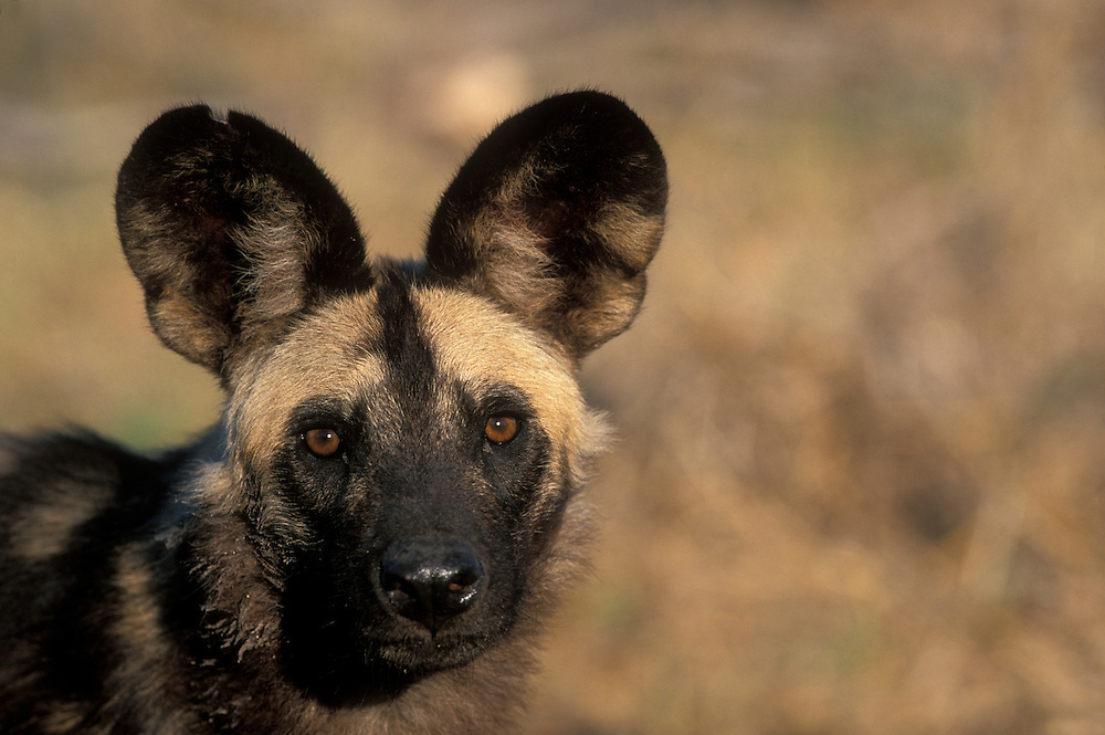 Africa, Botswana, Chobe National Park, African Wild Dog (Lycaon pictus) near Savuti Marsh in early morning