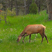 Young Elk Grazing - Lamar Valley - Yellowstone National Park