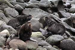 USA ALASKA  ST GEORGE ISLAND 7JUL12 -  Northern Fur Seals (Callorhinus ursinus) breed and gather in the Zapadny rookery on the island of St. George in the Bering Sea, Alaska...The Pribilof islands are a protected breeding ground for the fur seals and a prime birdwatching attraction.....Photo by Jiri Rezac / Greenpeace....© Jiri Rezac / Greenpeace