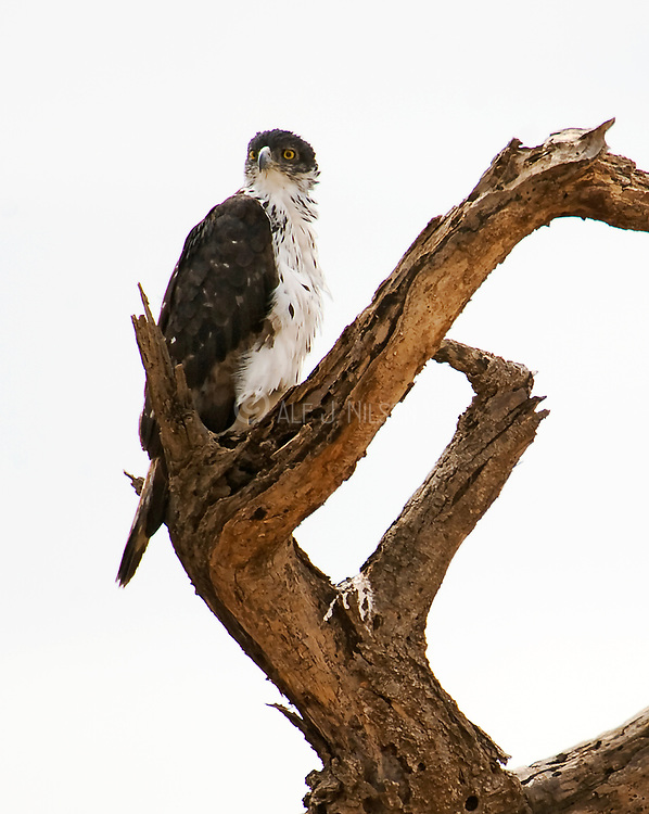 African Hawk Eagle (Aquilla spilogaster) from Samburu National Park, Kenya.