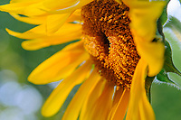 Close-up of sunflower.