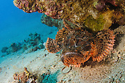 Underwater photography of a Synanceia nana stonefish in the Red Sea Aqaba, Jordan