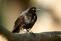 Giant Cowbird (Molothrus oryzivorus), Pantanal, Araras Ecolodge,  Mato Grosso, Brazil (Photo: Peter Llewellyn)