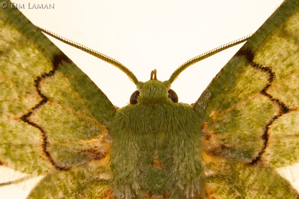 Moth attracted to light trap at Bog Camp.<br />Foja Mountains.