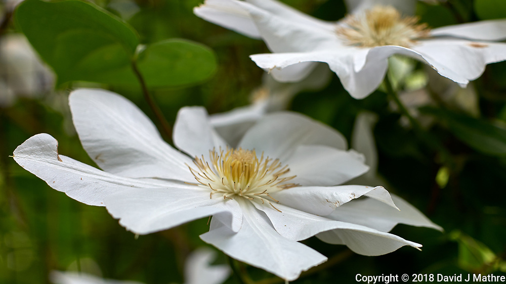 White Clematis Flower. Image taken with a Leica CL camera and 60 mm f/2.8 lens