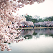 WASHINGTON DC - The flowering of thousands of cherry blossoms around the Tidal Basin in Washington DC is an annual spectacle that dates back over a century and is a highlight of the region's spring tourist season.