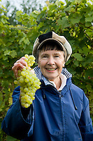 Volunteers pick grapes at Carters Vineyard in Boxted, Essex