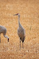 A Sandhill Crane feeds in a mountain valley fresh cut grain field in northern Utah.