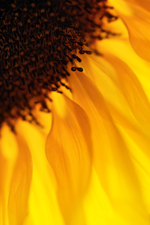 Sunshine on a Rainy Day.... This was one of my pics I took today!! A Sunflower I bought yesterday! I like the warmth and that it reminds me of flames on this wet and miserable grey day in britain!