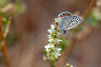 Icaricia acmon (Acmon Blue) ♂ at Grizzly Flat, Los Angeles Co, CA, USA, on 12-Oct-18