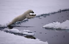 Labrador Sea Polar Bear