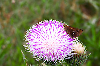 Twin-spot skipper butterfly feeding on an unusually pale purple thistle in the Big Cypress National Preserve.