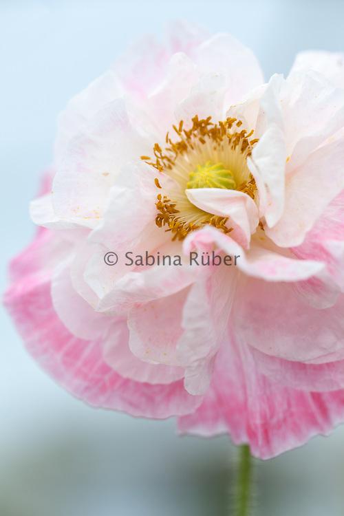 Papaver rhoeas 'Shirley' - poppy