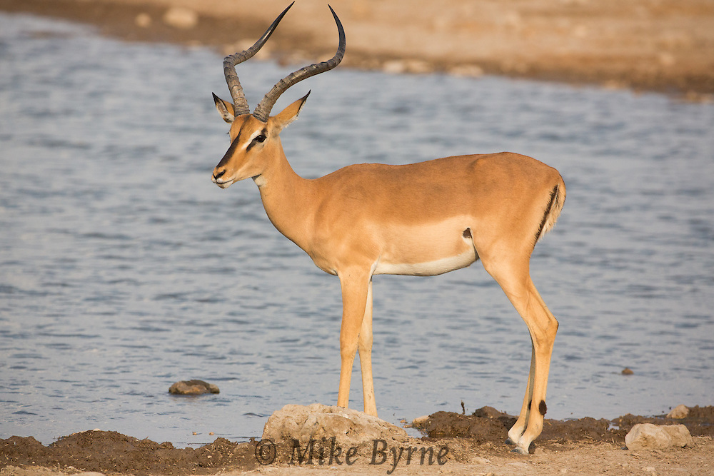 Blackfaced Impala at Etosha National Park,, Namibia.