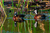 White-faced whistling ducks. near Kwara Camp, Okavango Delta, Botswana.
