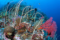 Whip Corals Dominate a Reef Slope..Shot in Indonesia..
