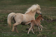 21: NORTH ROAD PALOMINO MARE & FOAL